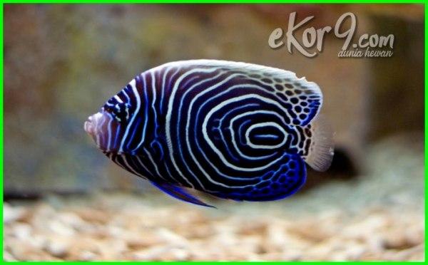 ikan laut blue stone, ikan blue stone, ikan bluestone