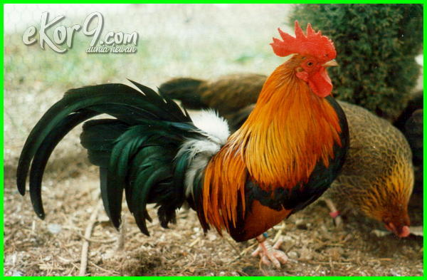 jenis ayam kate kumpulan tips, ada berapa jenis ayam kate, jenis ayam kate berdasarkan warna bulu, berbagai jenis ayam kate, jenis bulu ayam kate, jenis dan warna ayam kate, jenis dan macam ayam kate, jenis dan nama ayam kate, foto jenis ayam kate, gambar semua jenis ayam kate