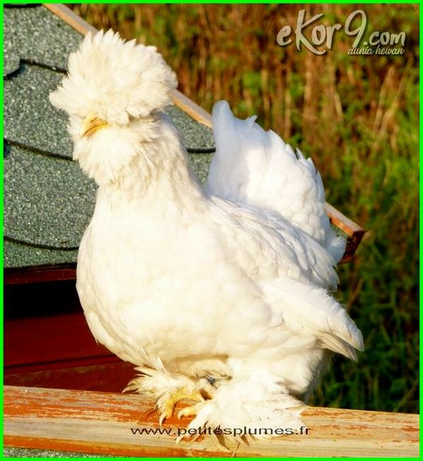 ayam kate putih, ayam kate hias, ayam kate adalah, ayam kate bagus, ayam kate cantik, ayam kate dan jenisnya, ayam kate ekor kipas