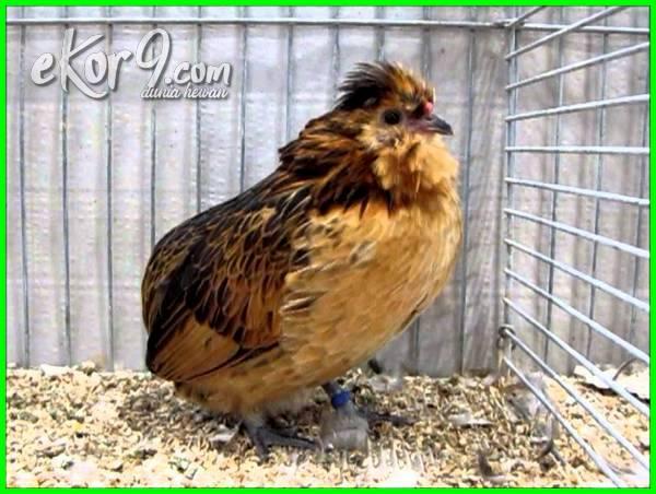 ayam kate termahal di dunia, ayam kate terbagus di dunia, ayam kate terkecil di dunia, ayam kate tercantik di dunia, ayam kate terbesar di dunia, ayam kate terunik di dunia, gambar ayam kate termahal di dunia, foto ayam kate terbagus di dunia, foto ayam kate termahal di dunia