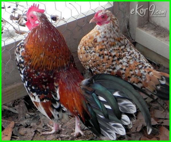 ayam bantam cochin cornish phoenix gold untuk dijual sumatra game vietnam splash pullet belanda emas silver anak booted dutch blue pair jual harga ayam.rosecomb.bantam cemani serama chicken modern jenis japanese di kate makanan mas sebright ternakan
