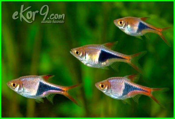 ikan yang bisa disatukan dengan cupang, apakah bisa ikan cupang disatukan dengan ikan lain, apa benar ikan cupang tidak bisa disatukan, ikan cupang yang bisa disatukan