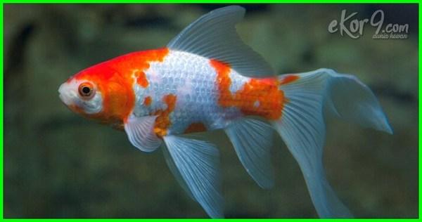 jenis ikan mas koki yang bagus, jenis ikan mas koki yang ada di indonesia, aneka jenis ikan mas koki, ada berapa jenis ikan mas koki, jenis jenis ikan mas koki beserta gambar