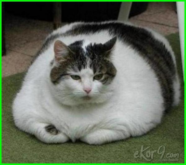 kucing gemuk comel, kucing gemuk malas, kucing gemuk tidur, kucing gemuk di dunia, kucing gemuk yang malas, kucing gemuk makan apa, kucing anggora gemuk lucu, merawat kucing agar gemuk, makanan kucing agar gemuk dan sehat, perawatan kucing agar gemuk, kucing gemuk besar