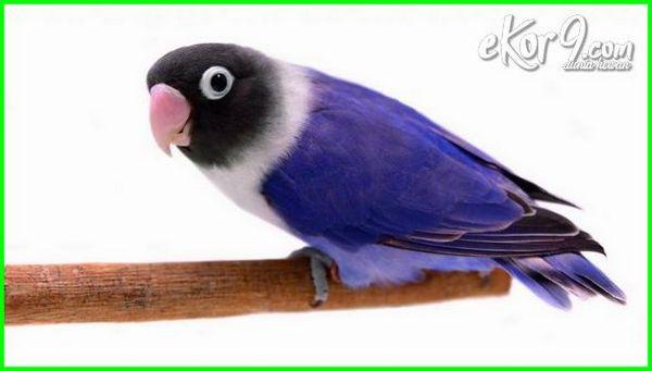 63  Gambar Burung Lovebird Pastel Violet  Paling Bagus