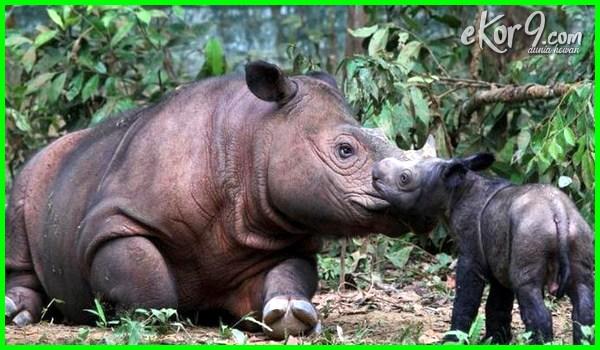 hewan langka indonesia bagian barat, hewan langka indonesia beserta asalnya, hewan langka indonesia yang hampir punah, 5 hewan langka di indonesia beserta asalnya, hewan langka asli indonesia, hewan langka asal indonesia, binatang langka asli indonesia, hewan langka di indonesia adalah, binatang langka asal indonesia