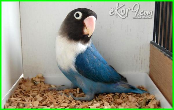 lovebird mahal berdasarkan warna, lovebird mahal warna, lovebird harga mahal, gambar lovebird mahal, lovebird termahal, kenapa lovebird mahal, ciri lovebird mahal, lovebird paling mahal di dunia, lovebird paling mahal di indonesia