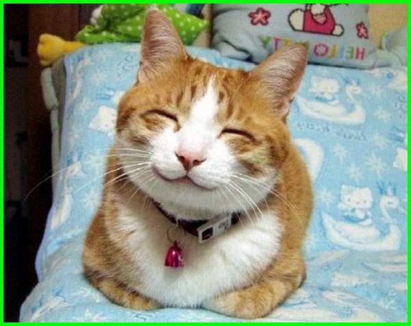 Kucing Anggora Gendut Lucu Majalah Cat Dog