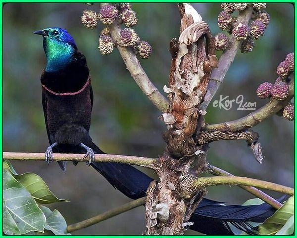 burung cendrawasih fauna tipe, burung cendrawasih merupakan fauna tipe, burung cendrawasih termasuk fauna indonesia bagian, burung cendrawasih merupakan fauna endemik dari daerah, burung cendrawasih termasuk fauna, burung cendrawasih termasuk fauna bertipe, burung cendrawasih merupakan fauna indonesia bagian, burung cendrawasih gambar