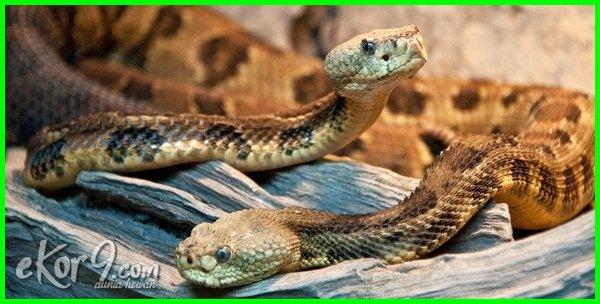 jenis ular yang berkembangbiak dengan ovovivipar, ular berkembangbiak dengan cara, ular berkembangbiak, ular berkembangbiak dengan cara apa, ular berkembangbiak dg cara, ular berkembangbiak dengan apa, ular berkembangbiak dgn cara, contoh ular yang berkembang biak dengan cara ovovivipar, jenis ular yang berkembangbiak dengan cara ovovivipar, ular yang berkembang biak secara ovovivipar