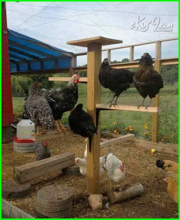 gambar kandang ayam umbar
