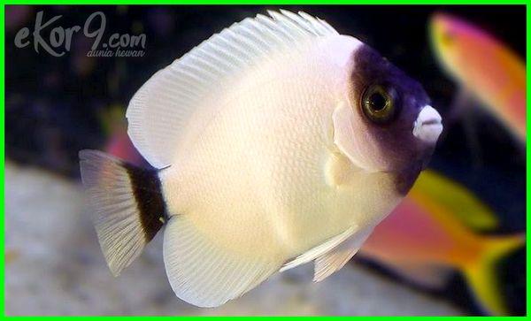 ikan cupang hias termahal di dunia, foto ikan hias termahal di dunia, gambar ikan hias termahal di dunia, jenis ikan hias termahal di dunia, poto ikan hias termahal di dunia, ikan hias tercantik dan termahal di dunia, ikan hias terindah dan termahal di dunia, ikan hias yang termahal di dunia, ikan hias termahal di dunia 2016-2017-2018-2019-2020