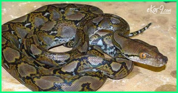 jenis ular sanca di indonesia, jenis jenis ular sanca indonesia, jenis ular piton indonesia, jenis ular piton di indonesia, jenis ular phyton di indonesia, jenis ular python di indonesia