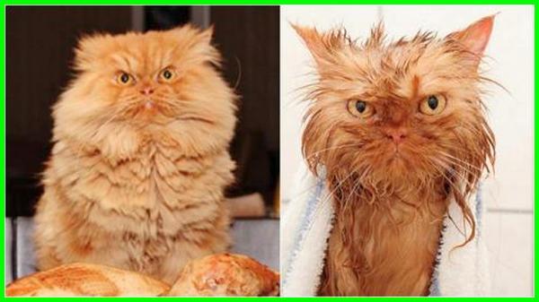 cara mandi kucing dengan betul, kucing comel mandi, mandikan kucing guna dettol, mandikan kucing guna syampu manusia, mandi kucing itu apa, mandi kucing itu gimana, mandi kucing itu apa sih