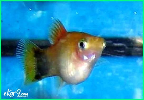 foto ikan sedang hamil, gambar ikan lagi hamil