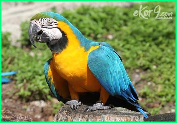 jenis burung macaw terbesar,jenis warna burung macaw, semua jenis burung macaw, jenis burung macaw dan harganya