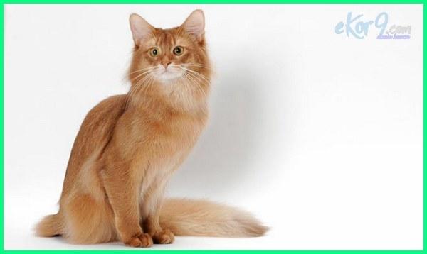 foto kucing berbulu panjang, kucing yang berbulu panjang, jenis kucing yang berbulu panjang