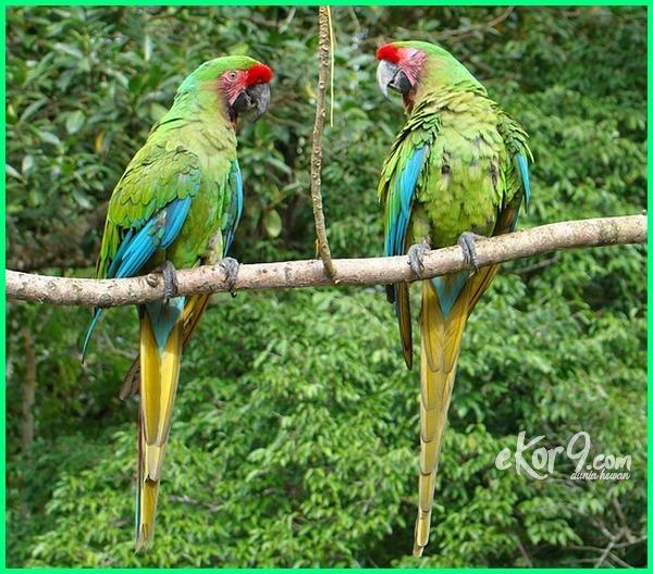 jenis burung macaw termahal beserta gambar terbesar paling mahal yang langka makanan macam warna semua dan harganya harga