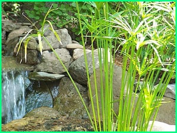 tanaman pot air, tanaman air untuk kolam ikan, tanaman aquarium, tanaman aquascape di sekitar kita, tanaman dalam air, tanaman dalam air tawar, tanaman hias air, tanaman hias air tawar