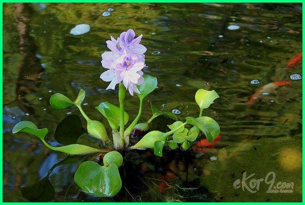 jenis tanaman kolam ikan, tanaman hias untuk kolam ikan koi, tanaman air untuk kolam ikan hias, tanaman di sekitar kolam ikan, tanaman hias di kolam ikan, tanaman di pinggir kolam ikan
