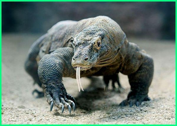 ciri ciri hewan komodo, ciri ciri komodo, ciri khusus komodo, klasifikasi hewan komodo, pengertian komodo