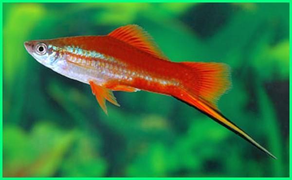 jenis ikan hias yang cepat beranak, ikan yang mudah beranak di aquarium, ikan yang mudah beranak dalam aquarium, ikan yang berkembang biak dengan beranak, ikan hias yang mudah beranak di aquarium, ikan hias yang mudah beranak di akuarium