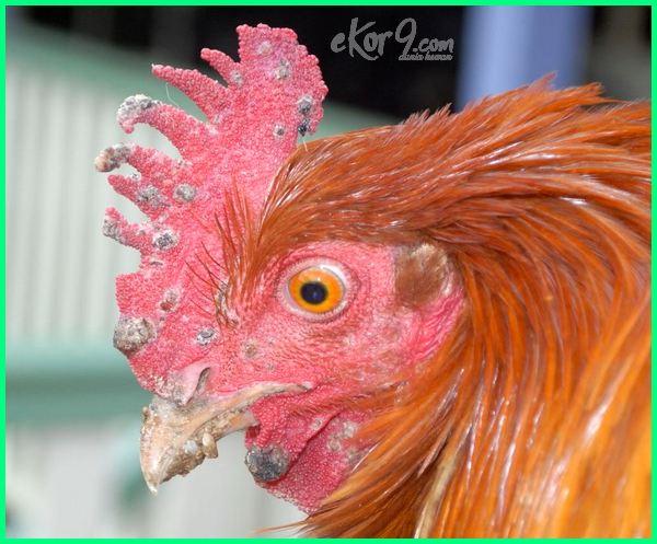 penyakit jengger ayam, sakit jengger ayam, jengger ayam penyakit, penyakit jengger ayam pada wanita, penyakit ayam jengger menghitam, penyakit jengger ayam wanita, penyakit ayam jengger hitam, gambar penyakit jengger ayam wanita, penyakit jengger ayam itu apa, penyakit ayam jengger biru, penyakit ayam jengger membiru