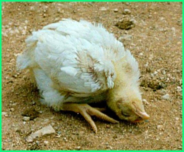 Download 57 Gambar Lucu Ayam Teler Terupdate