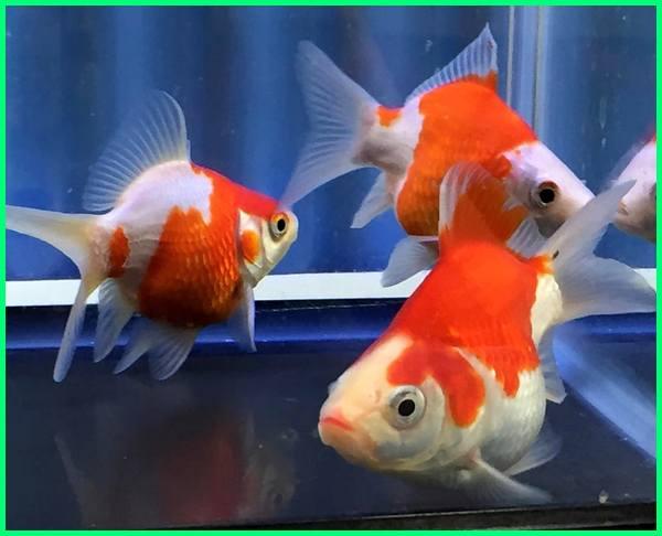 tamasaba, tamasaba goldfish, tamasaba jual, tamasaba koi, tamasaba goldfish for sale, tamasaba for sale, tamasaba uk, tamasaba goldfish for sale uk, tamasaba goldfish care, tamasaba sabao, tamasaba japanese goldfish, tamasha blog, cá tamasaba, tamasaba du japon, tamasaba fish