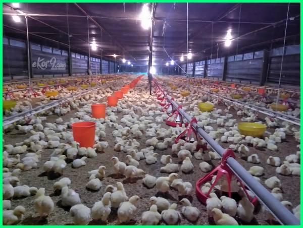 ayam potong disuntik hormon, ayam pedaging cepat besar kenapa pakan rahasia mengapa obat membuat potong makanan broiler agar cara anak beternak biar merawat supaya ternak vitamin untuk, ayam potong disuntik, ayam potong suntik, ayam broiler suntikan