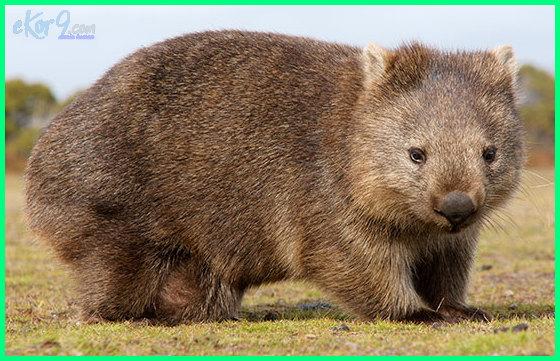 hewan binatang tipe australia