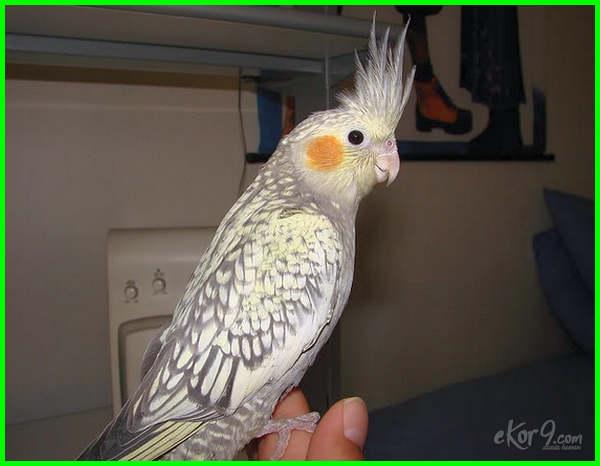 jenis burung falk yang mahal