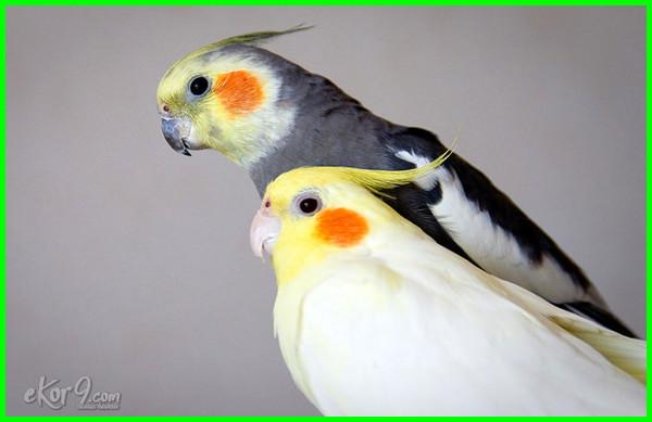 perbedaan burung falk jantan betina, perbedaan kelamin burung falk, perbedaan jenis kelamin burung falk, perbedaan burung falk betina dan jantan, cara membedakan burung falk betina dan jantan, perbedaan burung falk
