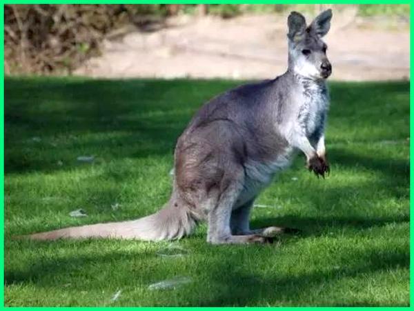 hewan asli australia tts, hewan aneh australia, hewan asli australia selain kanguru, hewan tipe australia adalah, hewan khas australia adalah brainly, hewan bercorak australia