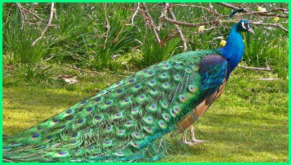 jenis burung merak di dunia, ada berapa jenis burung merak, gambar jenis burung merak, jenis jenis burung merak, macam jenis burung merak