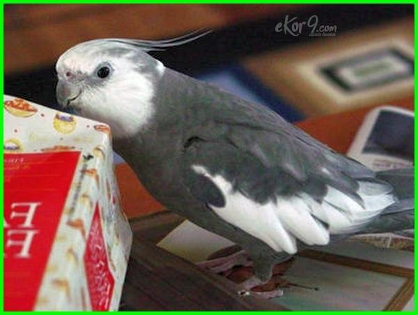 jenis burung falk dan harganya paling mahal harga australia yang bagus termahal warna kelamin macam