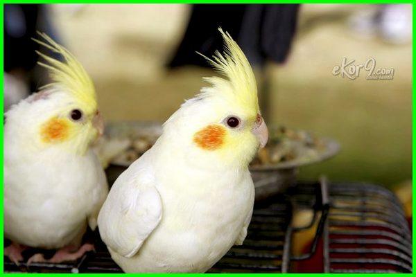 beda burung falk jantan dan betina, membedakan burung falk jantan dan betina, cara membedakan burung falk jantan dan betina, cara membedakan burung falk jantan betina