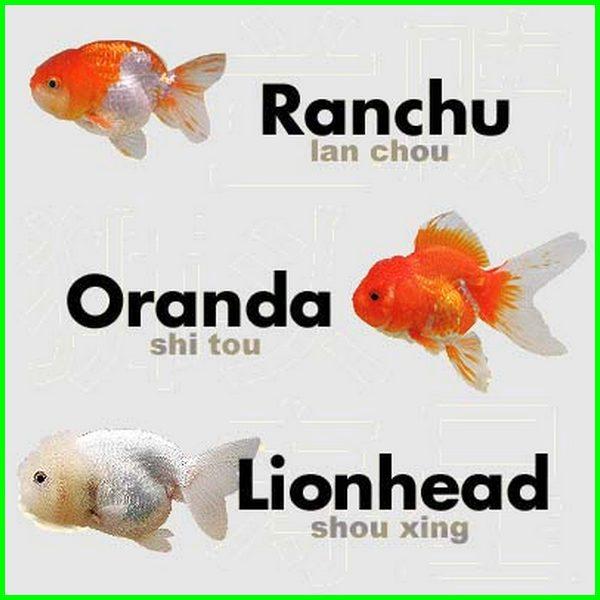 perbedaan ikan koki ranchu dan lionhead