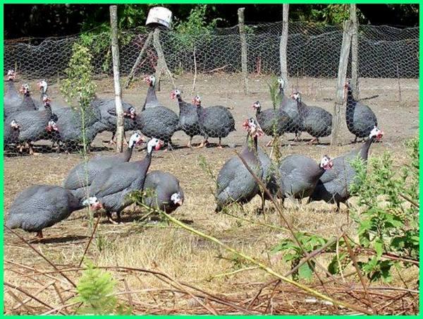 peternakan ayam mutiara, ternak ayam mutiara, ternak ayam hias mutiara, beternak ayam mutiara yang menguntungkan, ternak ayam mutiara peluang usaha cerah menggoda