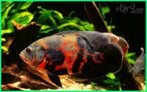 cara merawat ikan oscar di akuarium, cara merawat ikan oscar agar cepat besar, cara ternak ikan oscar di akuarium, cara merawat ikan oscar albino, cara membentuk corak ikan oscar, cara merawat ikan oscar dengan baik, cara merawat ikan hias oscar