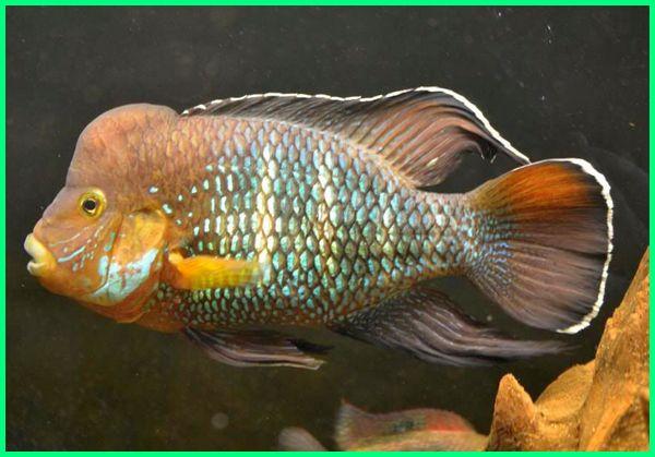 ikan green terror, harga green terror, harga ikan green terror, ikan hias green terror, green terror fish, green terror aquarium, a green terror fish