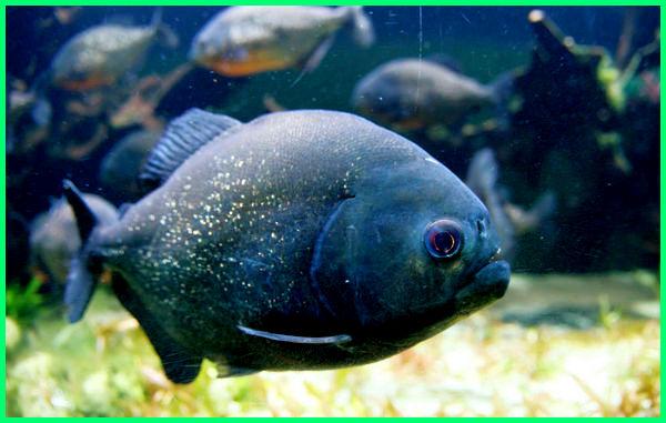 cerita tentang ikan piranha