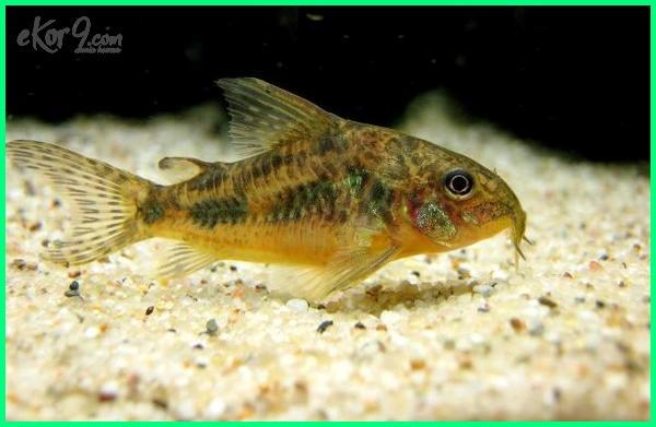 ikan hias air tawar corydoras, ukuran ikan corydoras, umur ikan corydoras