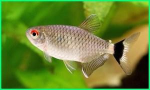 informasi tentang ikan tetra