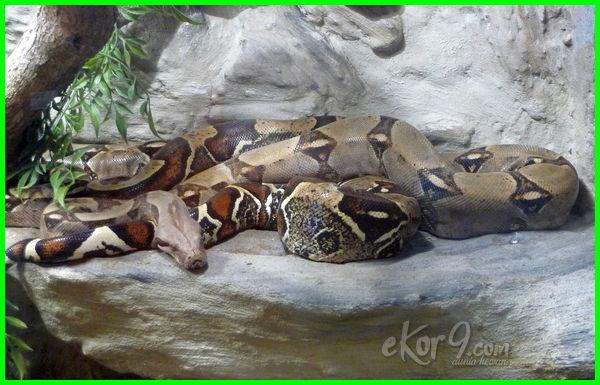 ular boa terbesar, ular besar di dunia, ular paling besar, ular besar makan orang