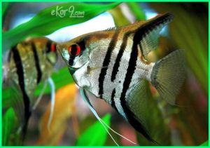angelfish air tawar, ikan bidadari air tawar