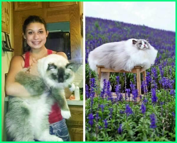 besar kucing ragdoll, kucing besar dunia, kucing ekor besar, kucing yang besar dan elok bulunya, empat kucing besar, foto kucing besar, famili kucing besar, foto kucing besar lucu, fakta kucing besar