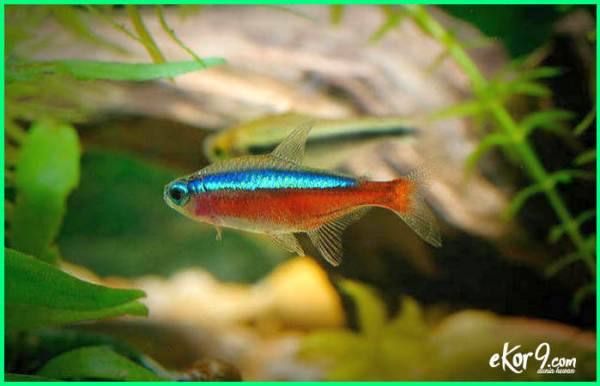 cardinal tetra, jenis ikan hias kardinal tetra, cardinal tetra harga, jual cardinal tetra, losing red color lighting laying looking pale live liveaquaria night life expectancy max malaysia minimum mating number mati maximum missing not eating natural schooling origin olx only harlequin rasbora orange tiger barb price petco india planted level parameters quarantine quotes que comen reproduction fade requirements gills rapid breathing range rummy nose seriously school spawning sleep salt scientific name mates terraria