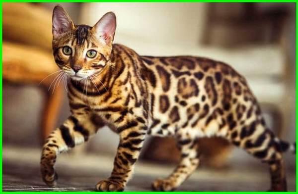 apakah kucing bengal dilindungi, apakah kucing bengal berbahaya, kenapa kucing bengal mahal, apa makanan kucing bengal, berapa harga kucing bengal, dari mana asal kucing bengal, berasal dari mana kucing bengal