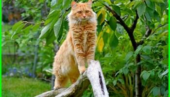 Kucing Himalaya Informasi Sejarah Dan Karakteristik Dunia Fauna Hewan Binatang Tumbuhan